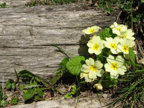 Fotografiet Fleurs de Primevère à grandes fleurs des Alpes