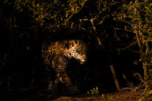 Jaguar Hunting In The Dark, Pantanal, Mato Grosso, Brazil
