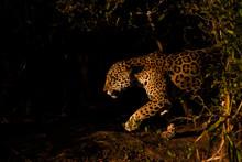 Jaguar Hunting In The Dark, Pa...