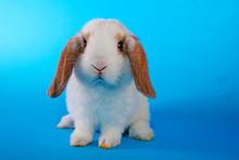 Cute Mini Lop Rabbit On Blue B...