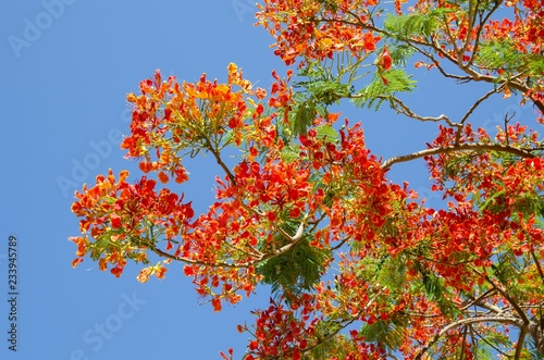 Blooming Hibiscus Tree With Blue Sky Background Buy This Stock