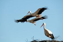 White Stork In Flight (Ciconia Ciconia)