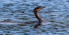 Young Cormorant