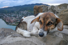 Homeless Stray Dog, Mongrel Lies On A Stone Wall Above The River