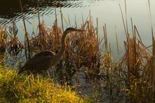 Great Blue Heron Feeding At Sunrise;  Virginia