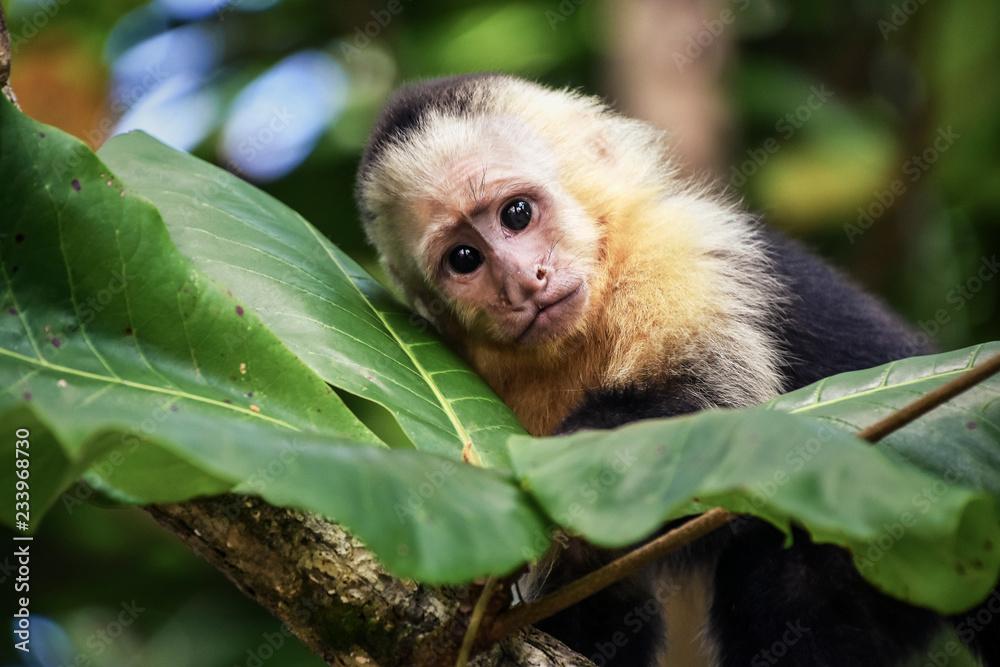 Photo  Baby monkey in Costa Rica.