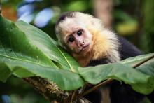 Baby Monkey In Costa Rica.