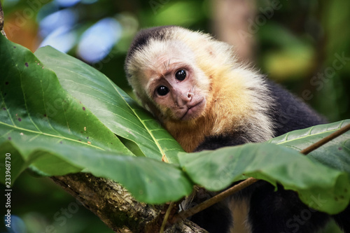 Fototapeta Baby monkey in Costa Rica.