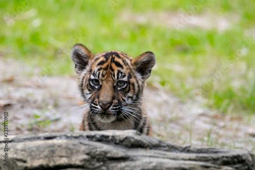 Fotografie, Obraz  Tiger Cub Peek A Boo