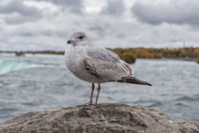 Seagull Perched On Stone