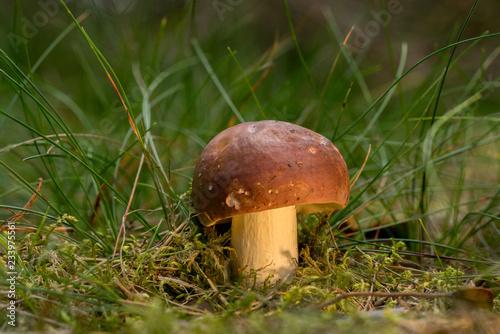 Fotografie, Obraz  Wild fungus, russula