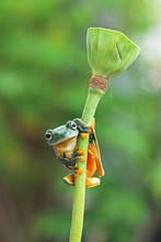 Tree Frog, Flying Frog Sits On The Lotus Leaf Bud