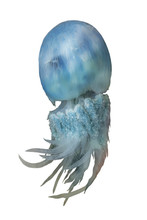 Blue Jellyfish Rhopilema From The Sea Of Japan Isolated On White Background