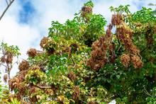 Bishop Wood (Bischofia Javanica) Fruit Bunches Hanging On Branches - Long Key Natural Area, Davie, Florida, USA