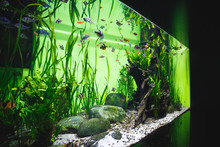 Big Beautiful Aquarium With A Great Number Of Little Fishes And Decorative Elements