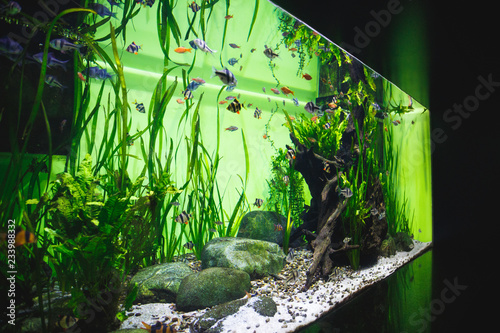 Fototapeta Big beautiful aquarium with a great number of little fishes and decorative eleme