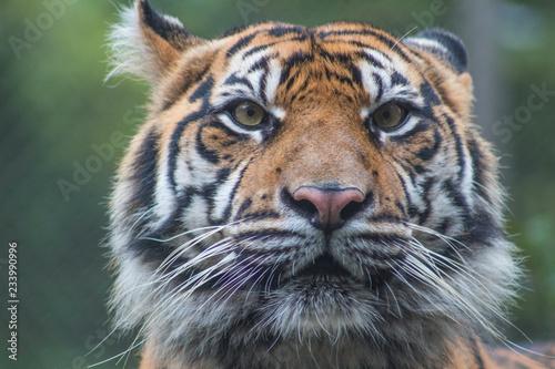 In de dag Tijger tiger in zoo