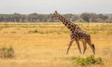 Fototapeta Sawanna - Full Body Portrait of reticulated giraffe, Giraffa camelopardalis reticulata, walking in northern Kenya savannah landscape