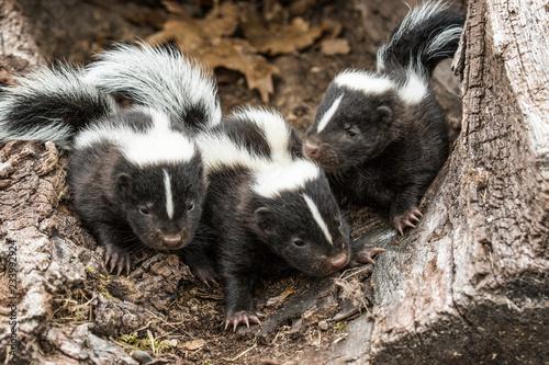 Foto Skunks in Minnesota
