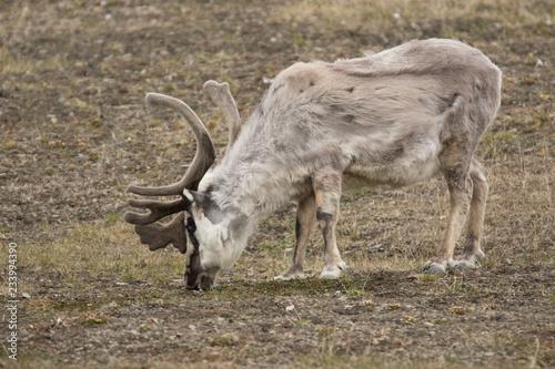 Papiers peints Scandinavie Reindeer of the Arctic