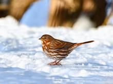 Fox Sparrow Standing On Snow
