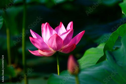 Foto op Aluminium Lotusbloem Blooming lotus flower, very beautiful
