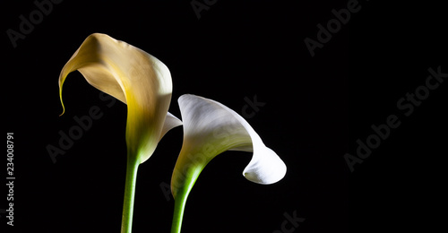 Fotografie, Obraz  White calla lilies glowing on black background with copy space