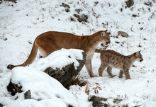 Mountain Lion Cub Leads The Way