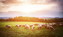 Flock Of Sheep Grazing In A Pasture