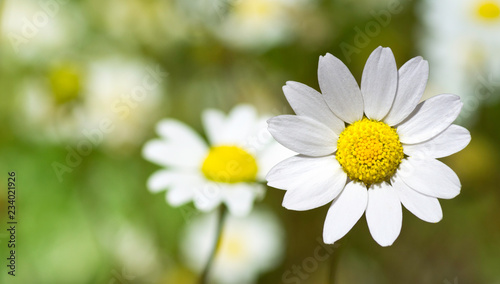 A focused daisy in front of other - Stock image
