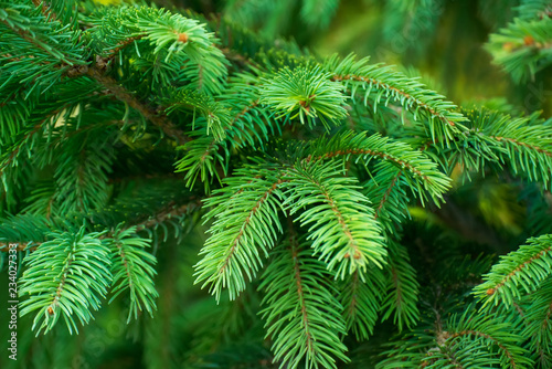 Fototapeta Close-up photo of colorful green branches of spruce. Great for background obraz