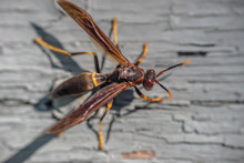 Paper Wasp On Grey Painted Woo...