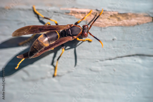 Fotografie, Obraz  Paper wasp on grey painted wooden wall