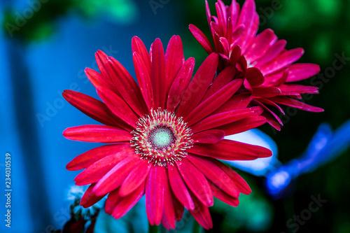 Gerbera jamesonii is a species of flowering plant in the genus Gerbera Wallpaper Mural