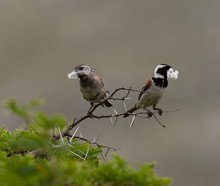 Pair Of Cape Sparrows (Passer ...