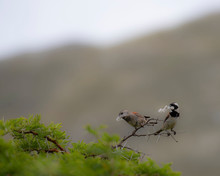 Pair Of Cape Sparrows (Passer Melanurus), Or Mossie, Sitting On Shrubb Branch With Wild Camphor Seedheads In Beaks. South Africa