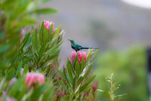 Non Breeding Malachite Sunbird...