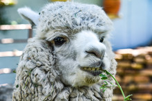 Arequipa, Peru - October 7, 2018: A Grey Alpaca Chews Grass On A Ranch In The Peruvian Andes