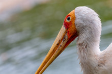 A Large Yellow-Billed Stork Next To A Small Pond