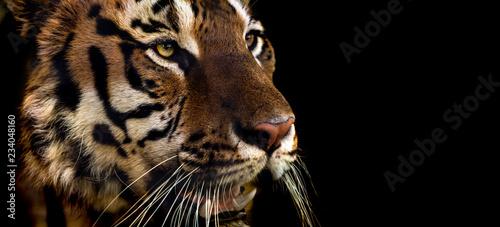 In de dag Tijger Wild Siberian tiger on nature