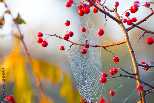 Foto  closeup bush with red berries  on a spider web background