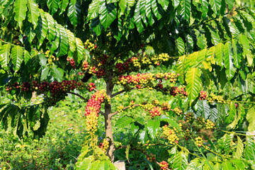 Fototapeta Kawa Coffee been on tree in cafe plantation