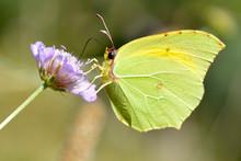 Macro Of Cleopatra Butterfly (Gonepteryx Cleopatra) Feeding On Purple Flower Viewed Of Profile