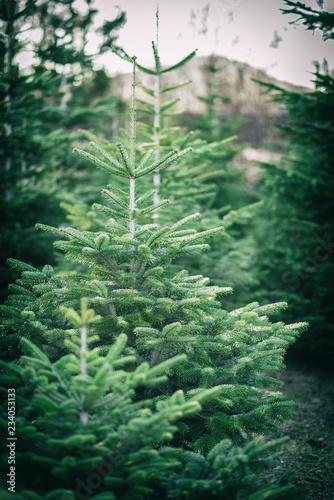 Fototapeta Weihnachtsbaumplantage obraz