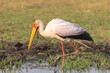 canvas print picture - Nimmersatt Vogel, Mycteria ibis, am Chobe River, Botswana