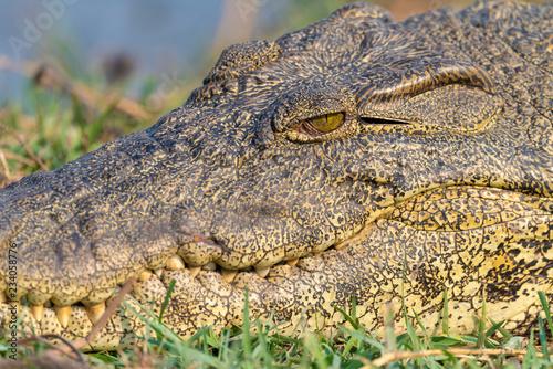 Door stickers Crocodile Auge in Auge mit einem Krokodil, rocodylus niloticus, Chobe Nationalpark, Botswana