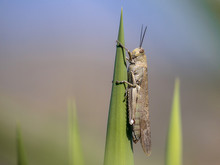 Migratory Locust Perched Green...