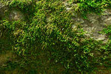 Bright Green Moss Covers A Tree Trunk Close Up Shined With Sunlight Natural Background