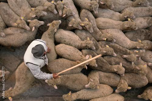 Fotografie, Obraz  gregge e pastore