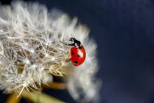 Dandelion Seeds And Ladybug